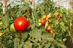Только 4% овощей из Молдовы производится в защищенном грунте