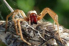 Один из самых ядовитых пауков в мире обнаружен в Рыбницком районе