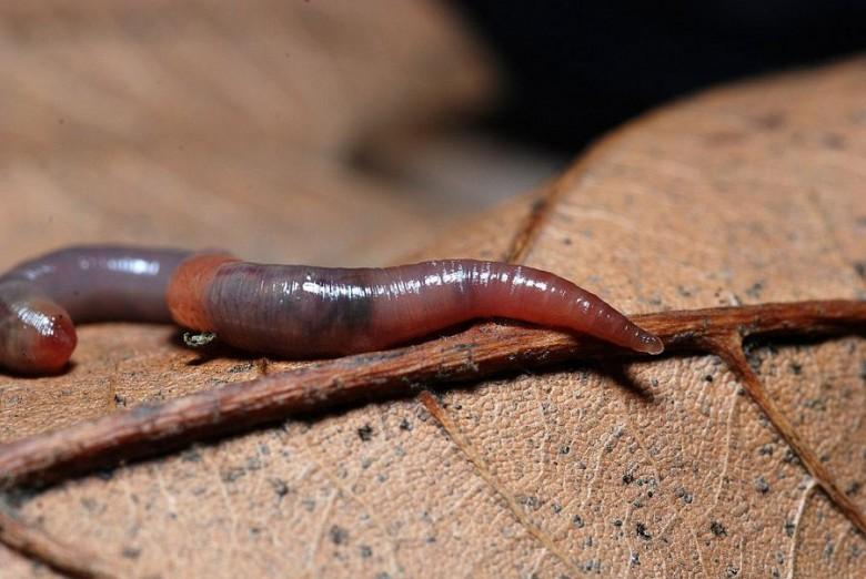 Дождевые черви при лихорадке, насморке и температуре